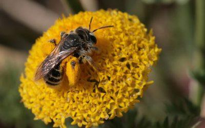 Metselbijen zijn uitstekende bestuivers!