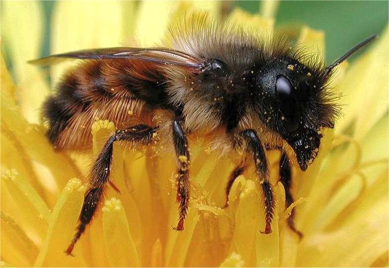 Bestuiving met bijen, heel natuurlijk