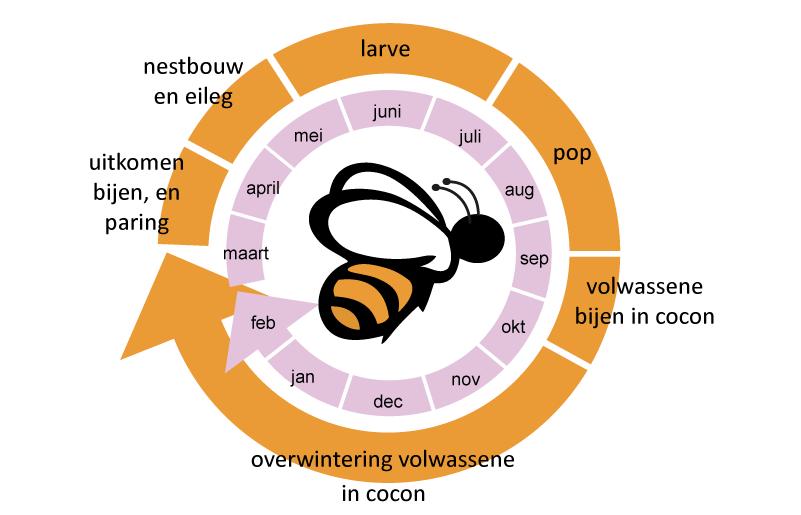 Levenscyclus van de rosse metselbij