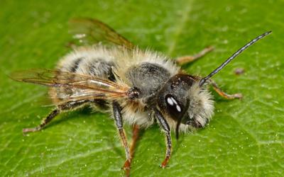 Rosse metselbij Osmia bicornis