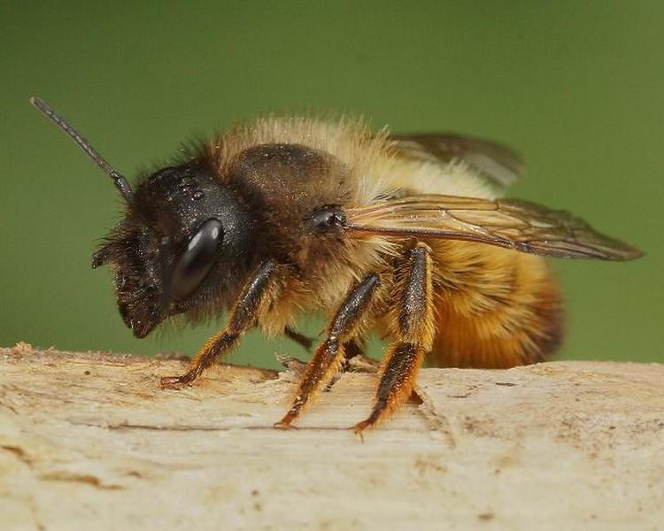 Vliegt er een mannetjes- of vrouwtjes-metselbij door mijn tuin?